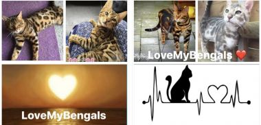 banner van cattery LOVE MY BENGALS & SAVANNAHS